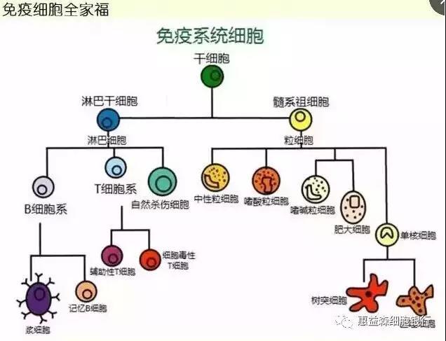 免疫系统_长沙脐带血储存