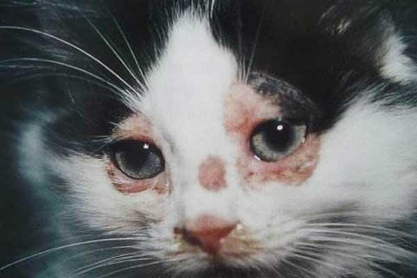 猫咪皮肤病.jpg