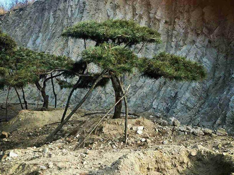 造型松为什么被称为园林之魂