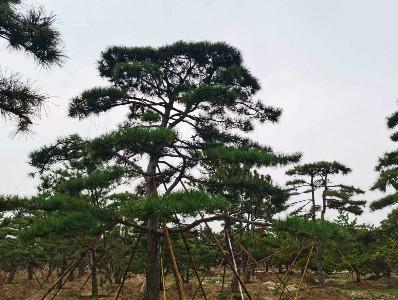 造型油松园林