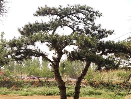 景观松树的种类划分及管理技巧