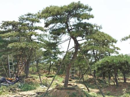 莱芜盛景园林苗木合作社