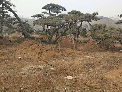 景观松品种