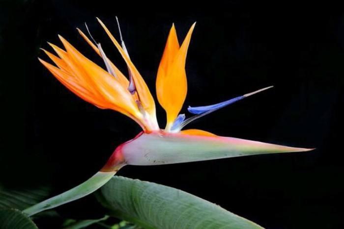 白瓷盆天堂鸟