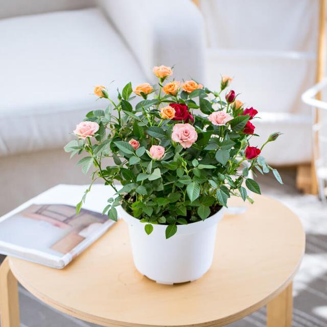 玫瑰小盆栽