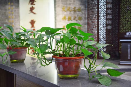 杭州滨江区植物租赁——绿萝