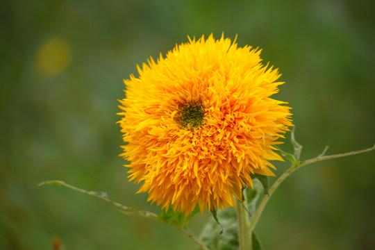 杭州植物租赁——太阳花