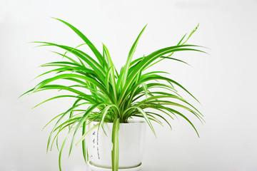 杭州绿植租赁——吊兰