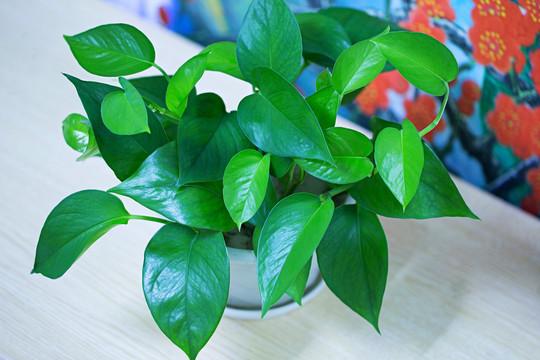 杭州植物租赁——绿萝
