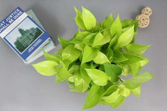 杭州植物租赁,杭州办公室植物租赁,办公室植物租赁