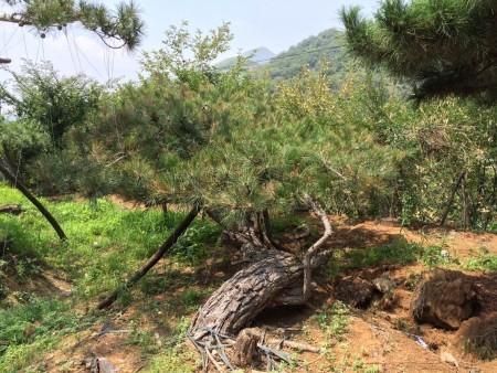 造型松樹穿孔病的防治要點