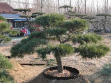造型油松种植