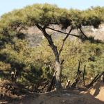 造型黑松苗木