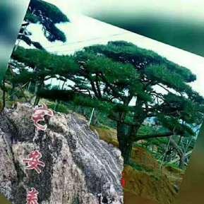 泰山景觀松
