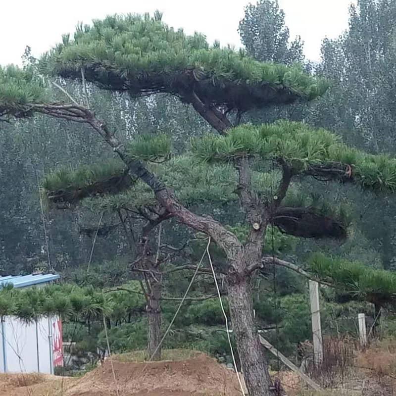 萊蕪造型油松
