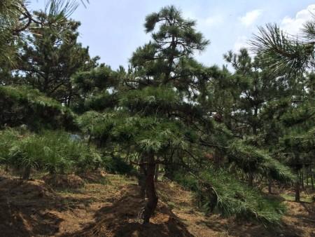 造型松樹的價值體現_功用