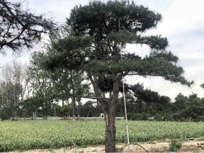 大型造型松树