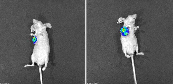 MDL百奥思科裸鼠成瘤