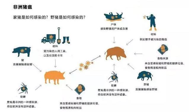 非洲猪瘟病毒