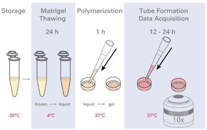 血管形成实验流程示意图