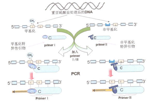 甲基特异性的PCR扩增(MS-PCR)示意图