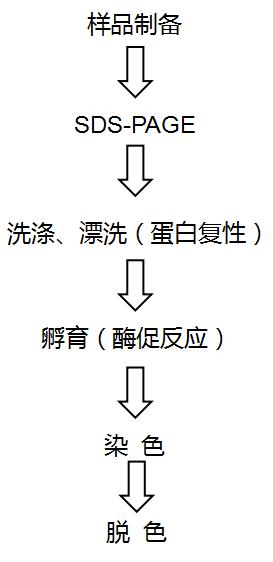 明胶酶谱.png