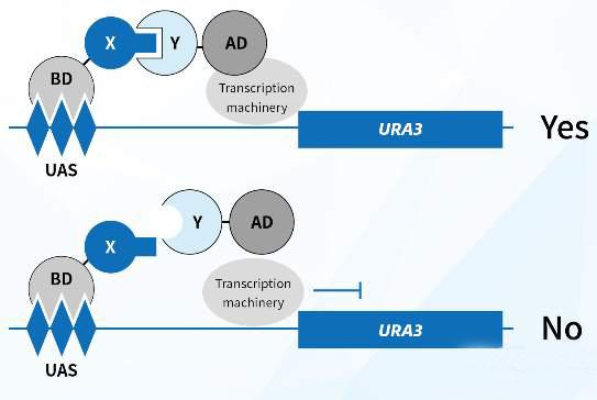 蛋白质互作 (2).jpg