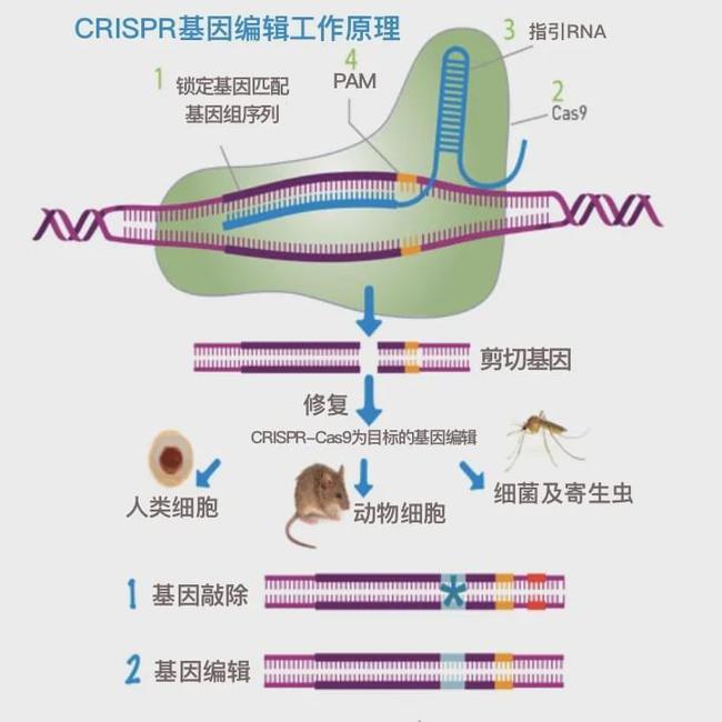 CRISPR-Cas9基因编辑技术原理汉化版