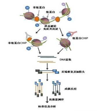 免疫沉淀 (2).png