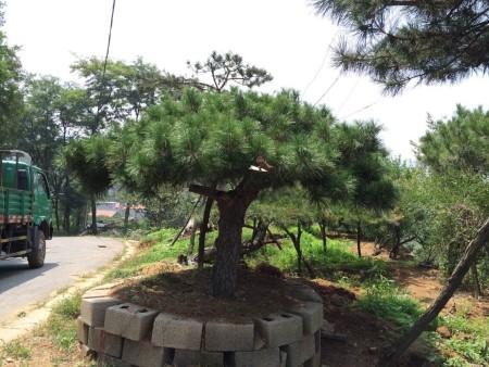 景观松的类别划分和生长特征
