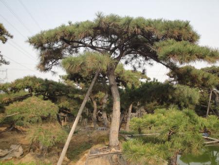 造型松树的主要应用价值