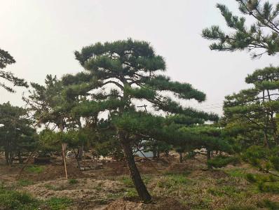 造型松园林