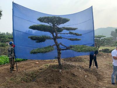造型油松树