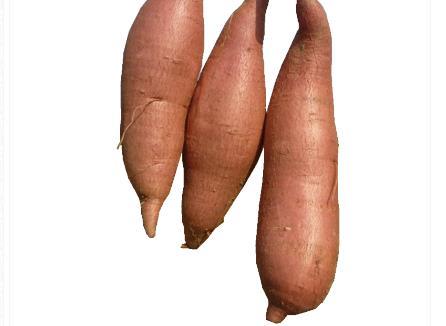 红薯储藏技术