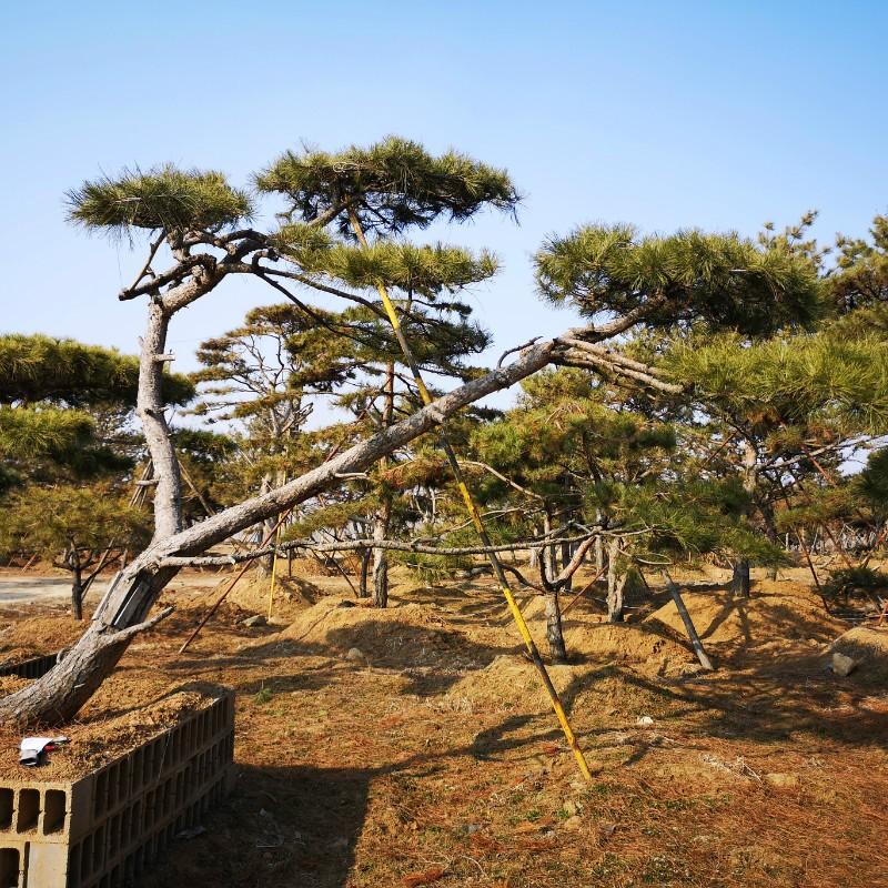 萊蕪松樹.jpg