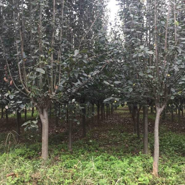 北美海棠树
