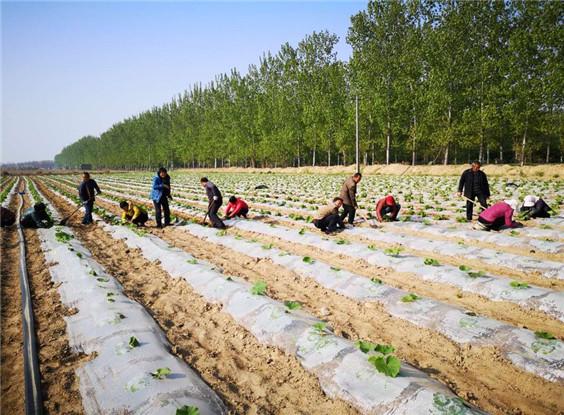 """沙苑农场持续推进基层农业分场""""一场一品""""工程建设"""