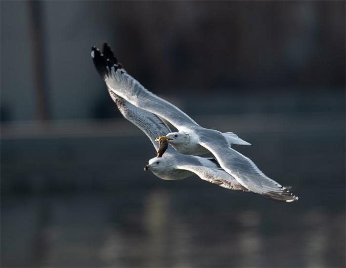 E-动植物组-金奖《海鸥比翼飞》-方君章.jpg