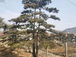 黑松行道树