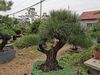 松树盆景价格