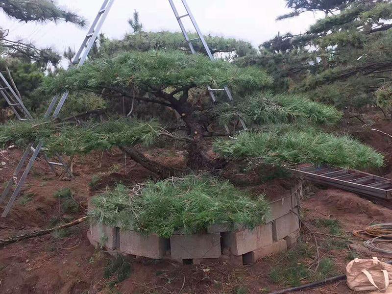平顶松种植基地