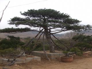 泰山景观松种植