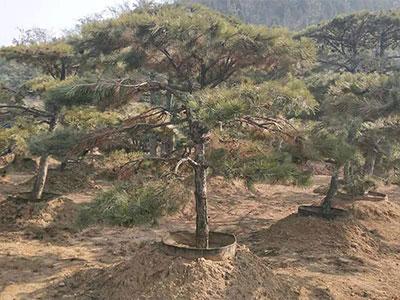 泰山景觀松基地