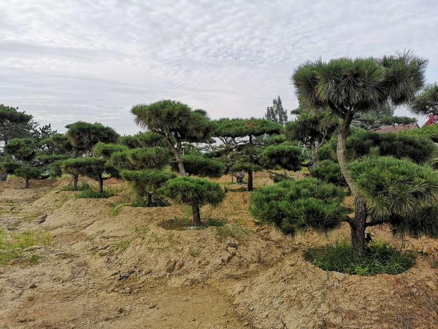 造型油松景观