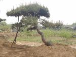 造型黑松種植