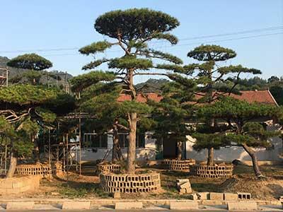 造型松盆景