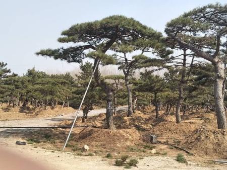 造型鬆樹喜歡陰性的環境嗎?