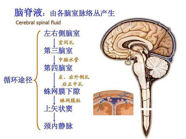 脑脊液循环图.jpg