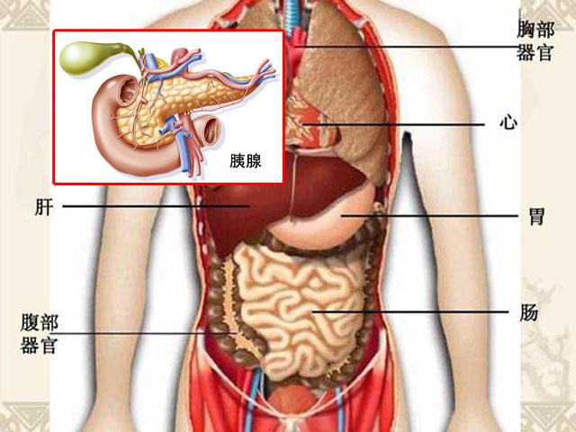 人体腹腔器官-胰腺.jpg