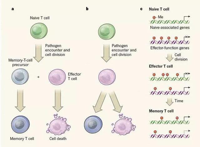 记忆T细胞的产生.jpg